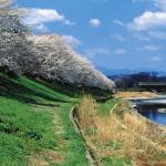 入間リバーサイドの桜並木