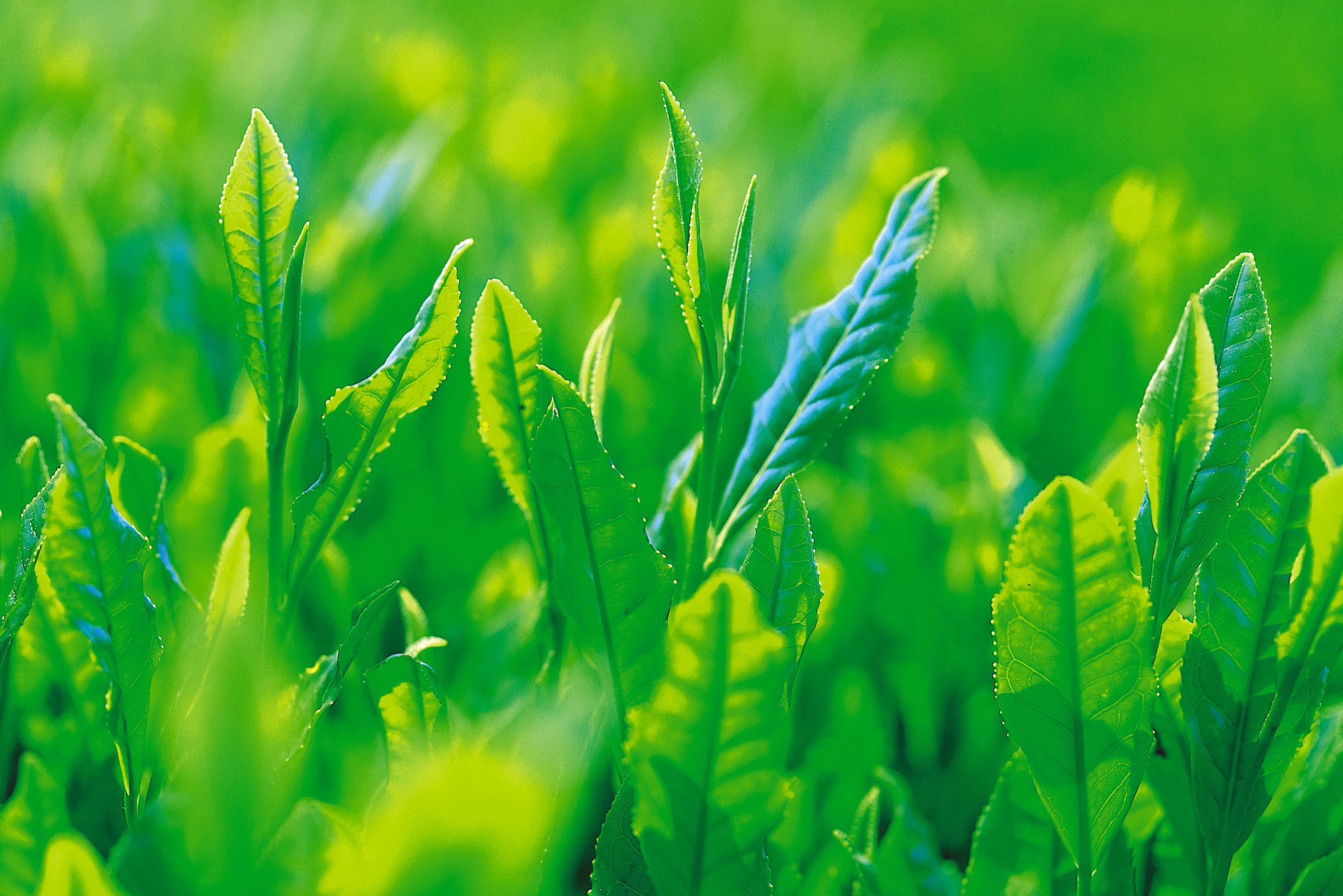 狭山茶の新芽